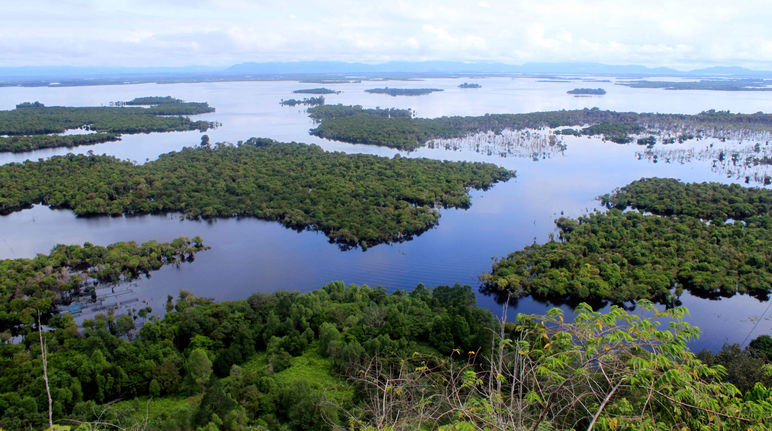Mangrovie nel Kalimantan Occidentale Indonesia
