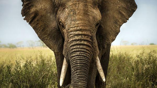 Elefante africano in una foresta