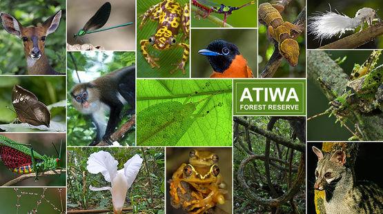 Primati rari, farfalle uniche, insetti, anfibi, uccelli – la biodiversità di Atiwa è in pericolo